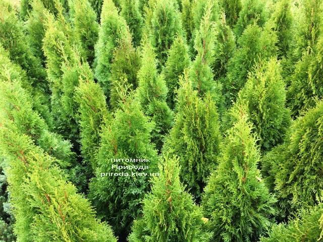 Туя західна Смарагд (Thuja occidentalis Smaragd) ФОТО Розплідник рослин Природа Priroda (100)