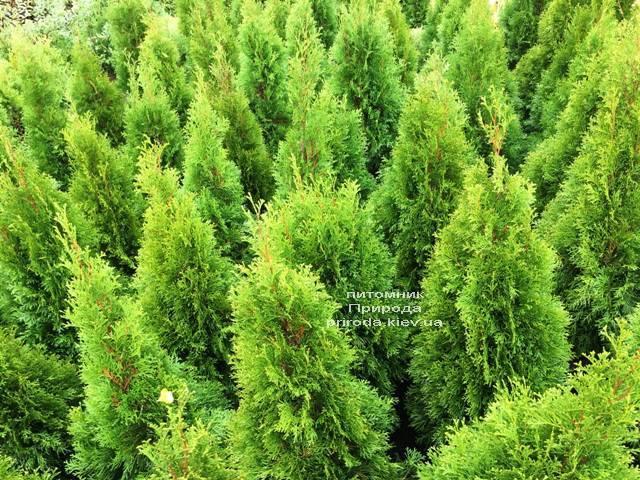 Туя західна Смарагд (Thuja occidentalis Smaragd) ФОТО Розплідник рослин Природа Priroda (101)