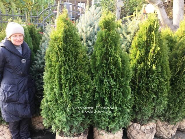 Туя західна Смарагд (Thuja occidentalis Smaragd) ФОТО Розплідник рослин Природа Priroda (94)