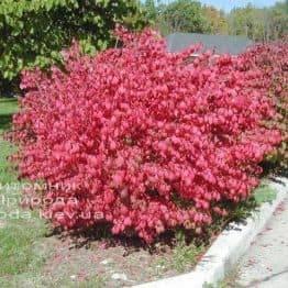 Бересклет крылатый (Euonymus alatus) ФОТО Питомник растений Природа (20)