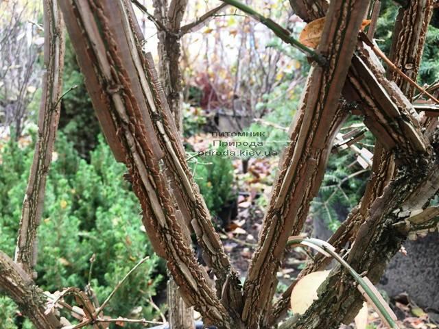 Бересклет крылатый (Euonymus alatus) ФОТО Питомник растений Природа (30)