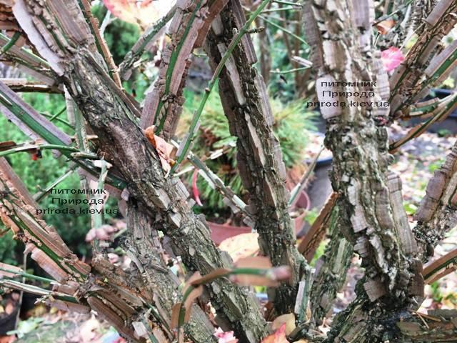 Бересклет крилатий (Euonymus alatus) ФОТО Розплідник рослин Природа (32)