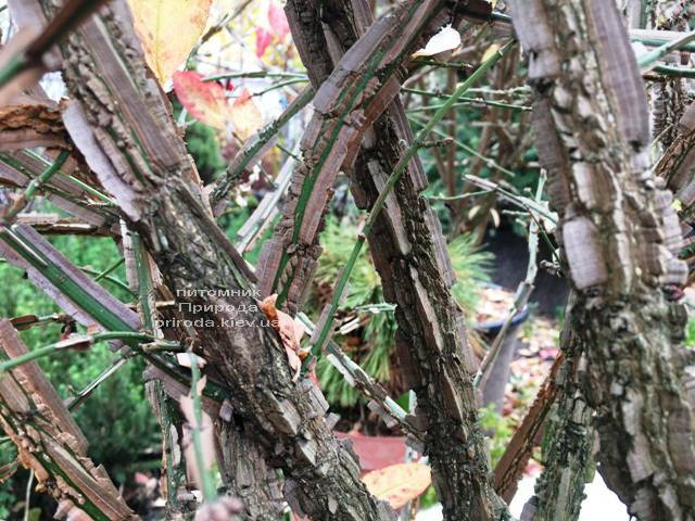 Бересклет крылатый (Euonymus alatus) ФОТО Питомник растений Природа (33)