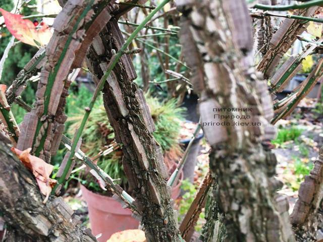 Бересклет крылатый (Euonymus alatus) ФОТО Питомник растений Природа (34)
