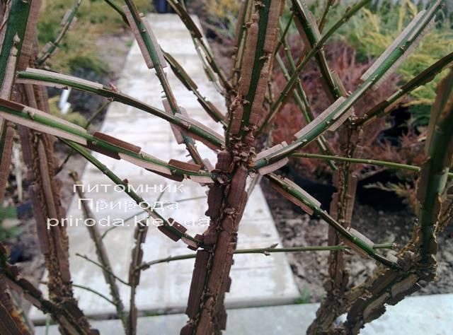 Бересклет крылатый (Euonymus alatus) ФОТО Питомник растений Природа (22)