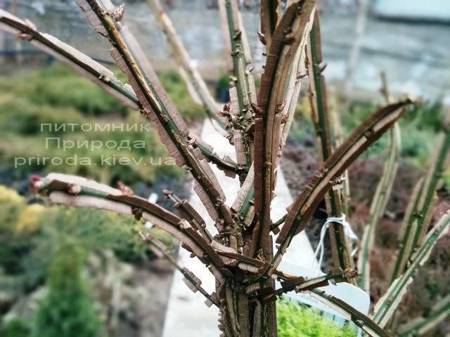 Бересклет крылатый (Euonymus alatus) ФОТО Питомник растений Природа (23)