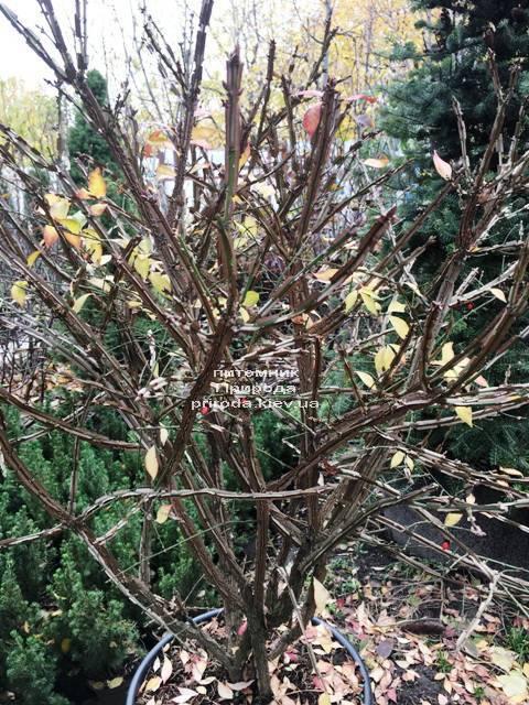 Бересклет крилатий (Euonymus alatus) ФОТО Розплідник рослин Природа (28)