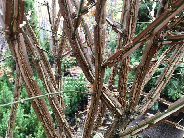 Бересклет крилатий (Euonymus alatus) ФОТО Розплідник рослин Природа (29)
