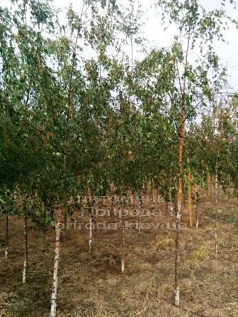 Берёза повислая Далекарлика (Betula pendula Dalecarlica) ФОТО Питомник растений Природа (Priroda) (19)