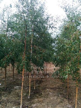 Берёза повислая Далекарлика (Betula pendula Dalecarlica) ФОТО Питомник растений Природа (Priroda) (20)