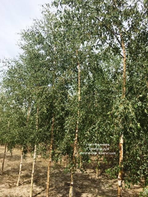 Берёза повислая Далекарлика (Betula pendula Dalecarlica) ФОТО Питомник растений Природа (Priroda) (21)