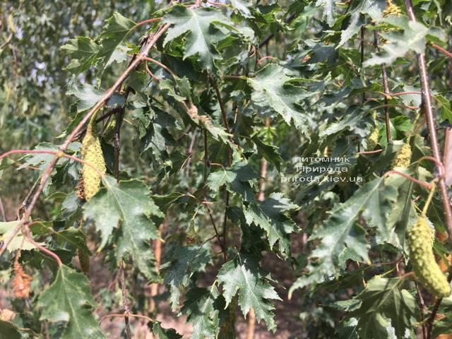 Берёза повислая Далекарлика (Betula pendula Dalecarlica) ФОТО Питомник растений Природа (Priroda) (23)