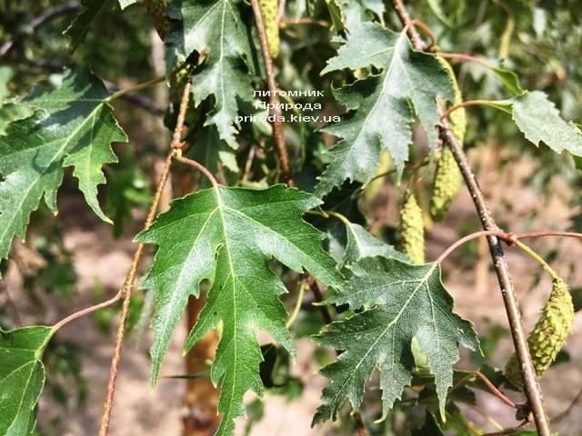 Берёза повислая Далекарлика (Betula pendula Dalecarlica) ФОТО Питомник растений Природа (Priroda) (25)