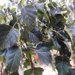 Берёза повислая Пурпуреа (Betula pendula Purpurea) ФОТО Питомник растений Природа (Priroda) (28)