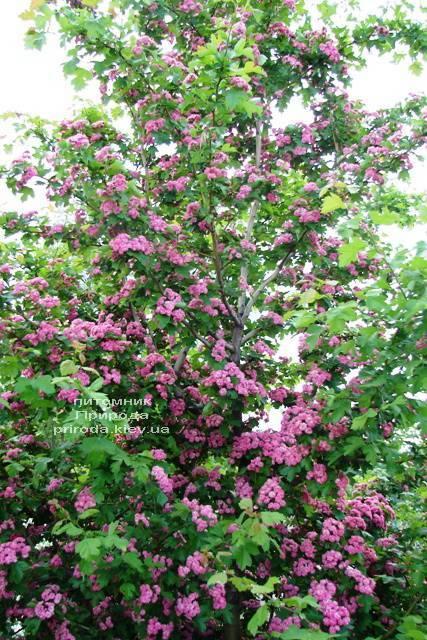 Боярышник колючий (обыкновенный) Пол Скарлет (Crataegus x media Paul's Scarlet) ФОТО Питомник растений Природа Priroda (8)