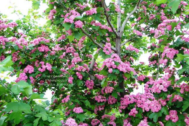 Боярышник колючий (обыкновенный) Пол Скарлет (Crataegus x media Paul's Scarlet) ФОТО Питомник растений Природа Priroda (12)