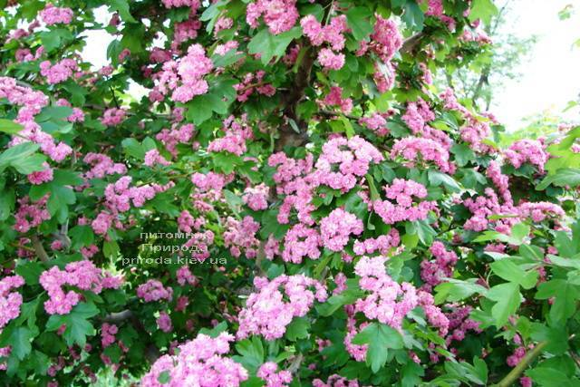 Боярышник колючий (обыкновенный) Пол Скарлет (Crataegus x media Paul's Scarlet) ФОТО Питомник растений Природа Priroda (17)
