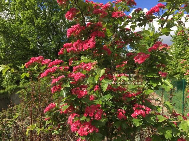 Боярышник колючий (обыкновенный) Пол Скарлет (Crataegus x media Paul's Scarlet) ФОТО Питомник растений Природа Priroda (9)