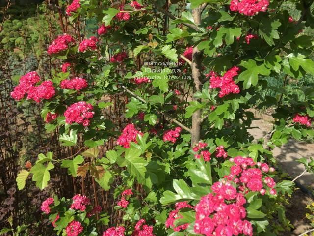 Боярышник колючий (обыкновенный) Пол Скарлет (Crataegus x media Paul's Scarlet) ФОТО Питомник растений Природа Priroda (14)