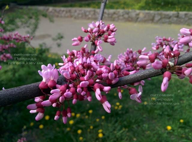 Церцис канадський (Cercis canadensis) ФОТО Розплідник рослин Природа (Priroda) (1)