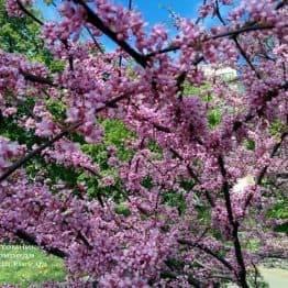 Церцис канадський (Cercis canadensis) ФОТО Розплідник рослин Природа (Priroda) (3)
