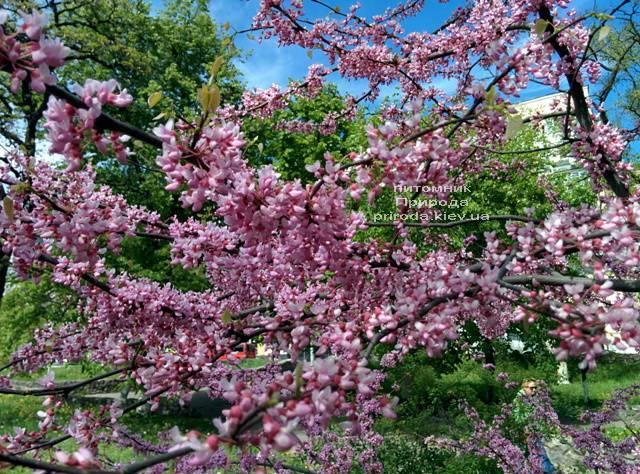 Церцис канадський (Cercis canadensis) ФОТО Розплідник рослин Природа (Priroda) (6)
