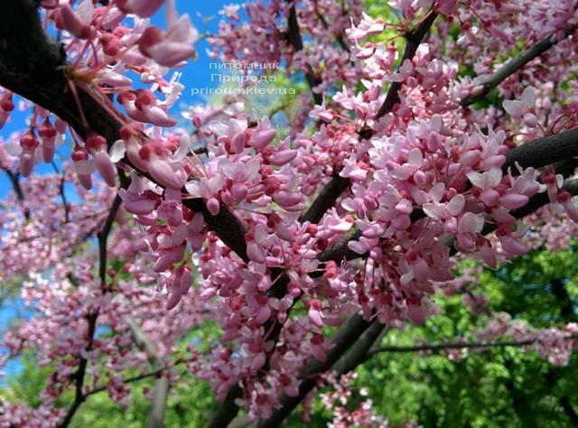 Церцис канадський (Cercis canadensis) ФОТО Розплідник рослин Природа (Priroda) (7)