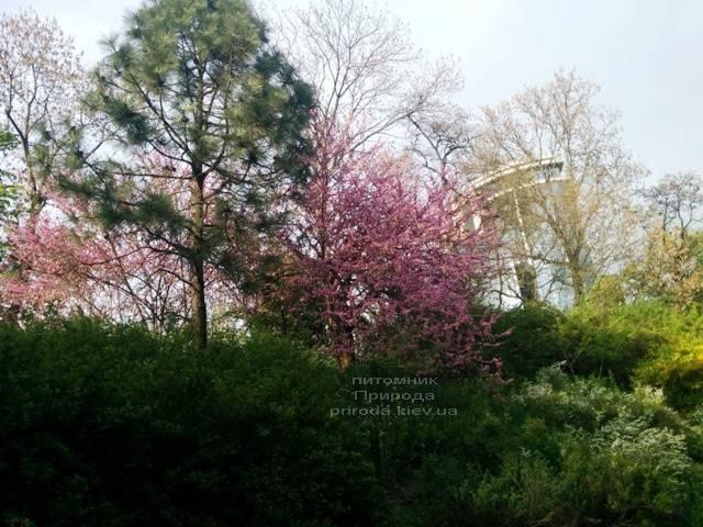 Церцис канадський (Cercis canadensis) ФОТО Розплідник рослин Природа (Priroda) (9)