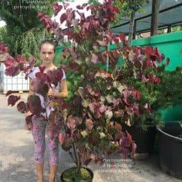Церцис канадський Форест Панси (Cercis canadensis Forest Pansy) ФОТО Розплідник рослин Природа (Priroda) (11)