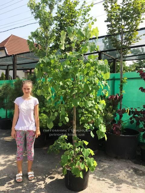 Церцис канадский Лавендер Твист (Cercis canadensis Lavender Twist) ФОТО Питомник растений Природа (Priroda) (13)