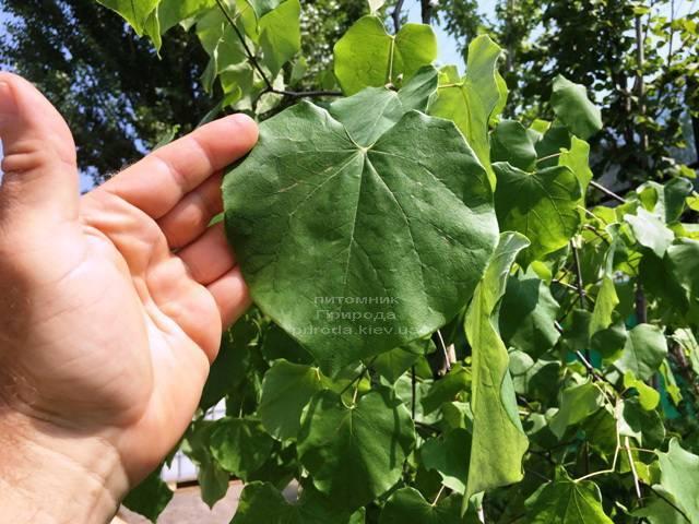 Церцис канадський Лавендер Твіст (Cercis canadensis Lavender Twist) ФОТО Розплідник рослин Природа (Priroda) (15)