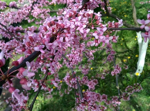 Церцис канадський Лавендер Твіст (Cercis canadensis Lavender Twist) ФОТО Розплідник рослин Природа (Priroda) (19)