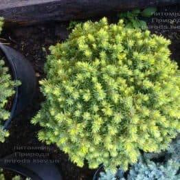 Ялина канадська Альберта Глобе (Picea glauca Alberta Globe) ФОТО Розплідник рослин Природа Priroda (292)
