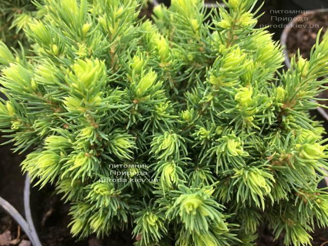 Ель канадская Альберта Глобе (Picea glauca Alberta Globe) ФОТО Питомник растений Природа Priroda (293)