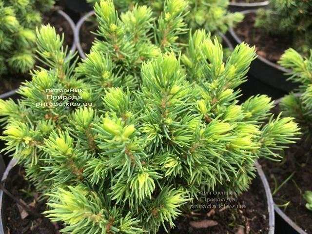 Ель канадская Альберта Глобе (Picea glauca Alberta Globe) ФОТО Питомник растений Природа Priroda (294)