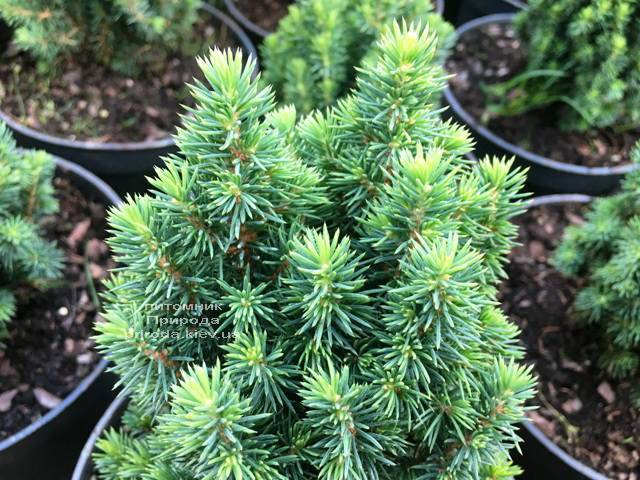 Ель канадская Лаурин (Picea glauca Laurin) ФОТО Питомник растений Природа Priroda (297)