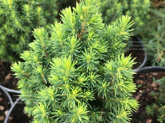 Ель канадская Лаурин (Picea glauca Laurin) ФОТО Питомник растений Природа Priroda (299)