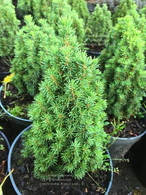 Ель канадская Лаурин (Picea glauca Laurin) ФОТО Питомник растений Природа Priroda (300)