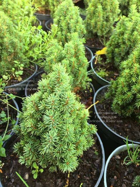 Ель канадская Лаурин (Picea glauca Laurin) ФОТО Питомник растений Природа Priroda (301)