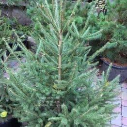 Ялина звичайна / європейська (Pisea abies) ФОТО Розплідник рослин Природа Priroda (277)
