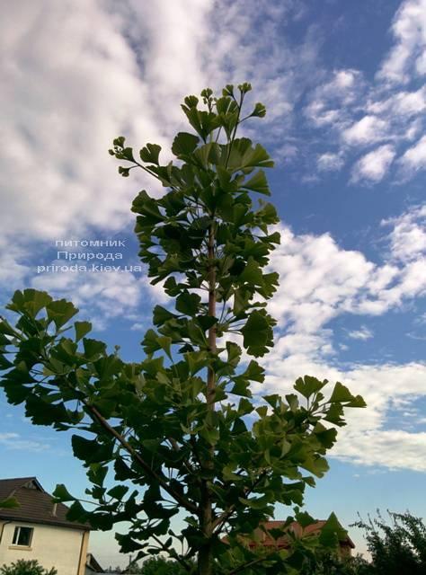 Гінкго дволопатеве білоба (Ginkgo biloba) ФОТО Розплідник рослин Природа Priroda (1)