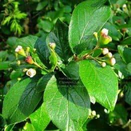 Кизильник блискучий (Cotoneaster lucidus) ФОТО Розплідник рослин Природа Priroda (24)
