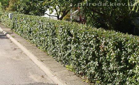 Кизильник блестящий (Cotoneaster lucidus) ФОТО Питомник растений Природа Priroda (25)