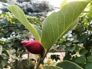 Магнолия Мач тилл Фрост ФОТО Питомник растений Природа (116)