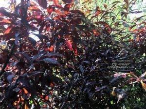 Слива растопыренная Хессея на штамбе (Prunus cerasifera Hessei) ФОТО Питомник растений Природа (Priroda) (33)
