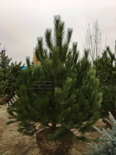 Сосна крымская (Pinus pallasiana) ФОТО Питомник растений Природа Priroda (125)
