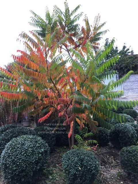 Сумах оленерогий (Уксусное дерево) (Rhus typhina) ФОТО Питомник растений Природа Priroda (10)