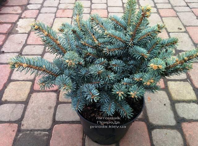 Ель голубая Глаука Глобоза (Picea pungens Glauca Globosa) ФОТО Питомник растений Природа (Priroda) (336)