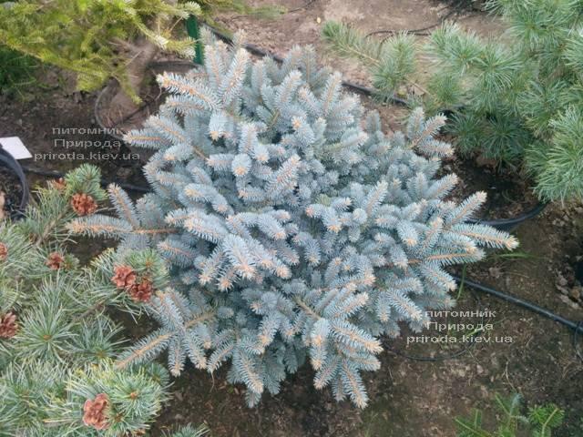 Ель голубая Глаука Глобоза (Picea pungens Glauca Globosa) ФОТО Питомник растений Природа (Priroda) (337)
