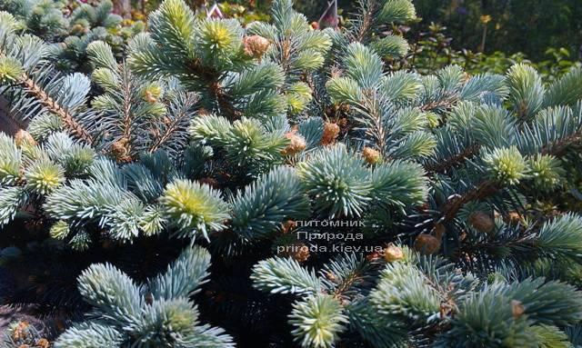 Ель голубая Глаука Глобоза (Picea pungens Glauca Globosa) ФОТО Питомник растений Природа (Priroda) (334)
